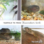 Setting up a tadpole to frogs observation tank