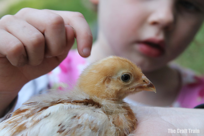 baby chick at farm