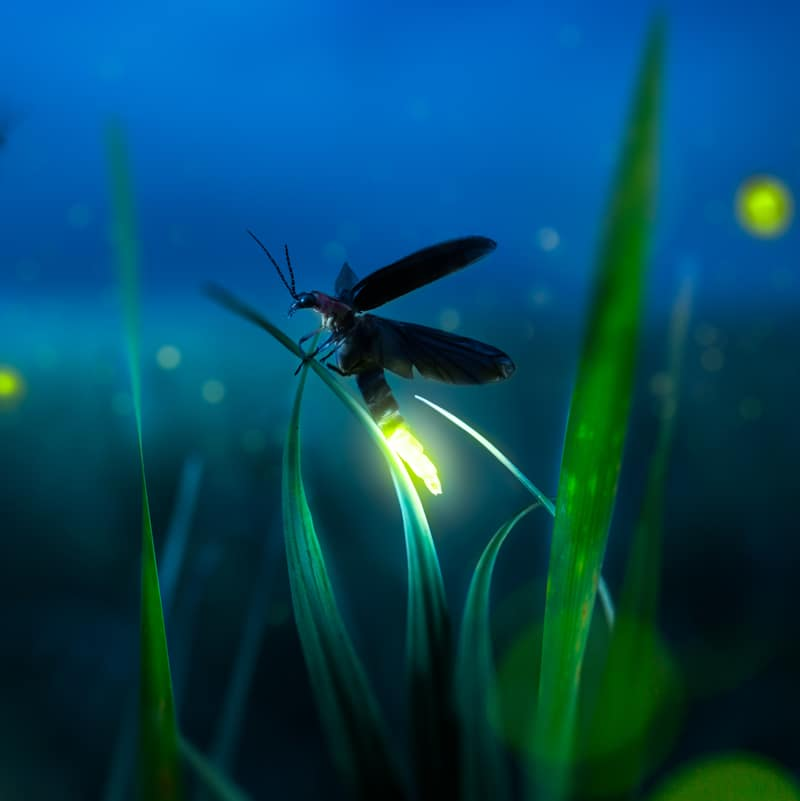 firefly on the grass stock image